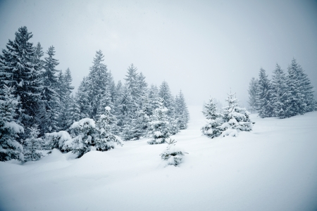 rime: Snow covered fir trees Stock Photo