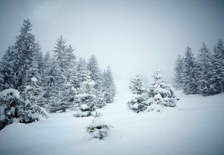 montañas nevadas: La nieve cubr?a los abetos