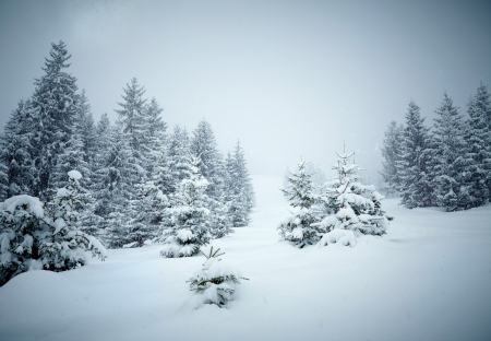 a slope: Snow covered fir trees Stock Photo