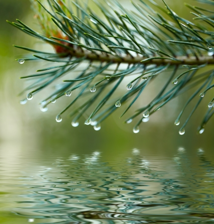 Water drops on fir tree reflected in the water photo