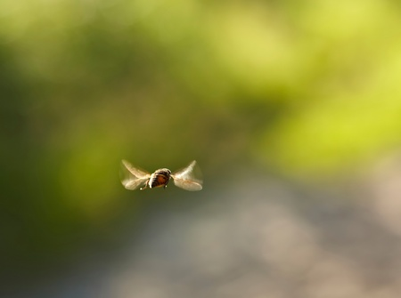 Flying bumble bee  photo