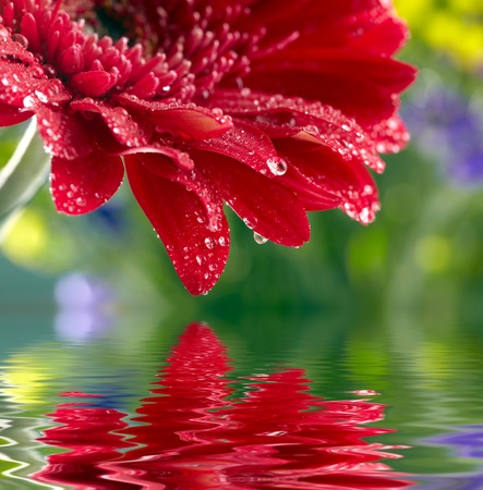 Red daisy-gerbera reflected in the water photo