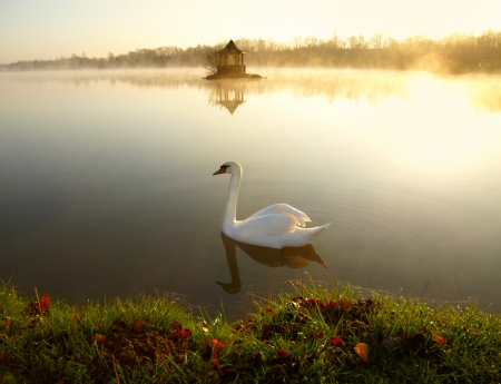 White swan on the lake at sunrise  photo