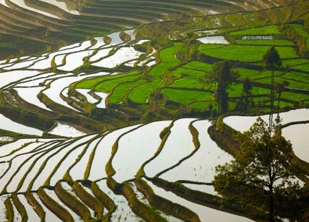 gradas: Las terrazas de arroz de Yunnan, China