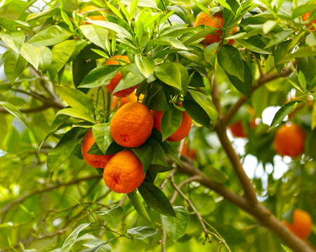 Branches with the fruits of the tangerine trees photo