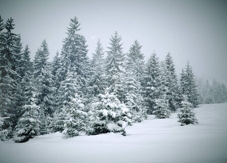 coniferous tree: Winter trees