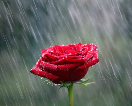 Red rose into the rain. Shallow DOF 스톡 콘텐츠