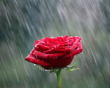Red rose into the rain. Shallow DOF Stockfoto