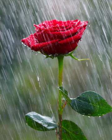 flower petal: Red rose into the rain