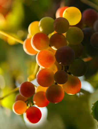 harvest: Red grapes in sunset lights. Shallow DOF Stock Photo