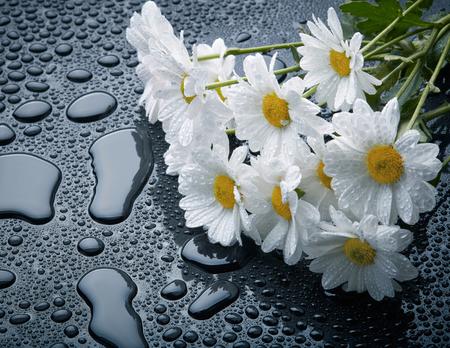 pâquerette: Marguerites blanches sur fond noir avec des gouttes d'eau