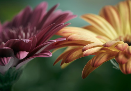 flower petal: Pink and orange daisy gerbera flowers. Shallow DOF Stock Photo