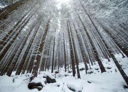 asheville: Mysterious trees in winter forest Stock Photo