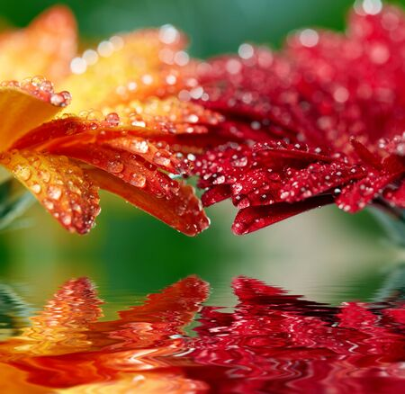 reflection: Red and orange daisy gerbera reflecting in the water. Shallow DOF