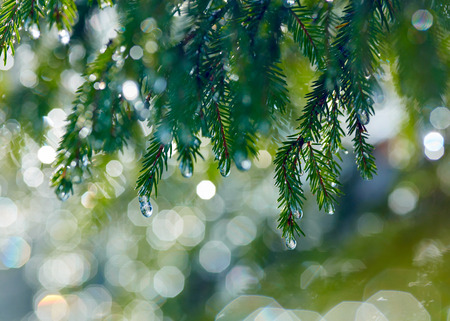 abeto: Branch of fir tree with waterdrops. Shallow DOF