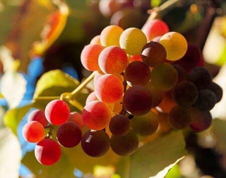 luz roja: Las uvas rojas en el atardecer luces. DOF bajo