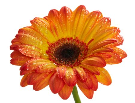 waterdrops: Orange daisy gerbera flower with waterdrops. Isolated on white Stock Photo