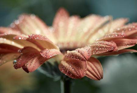 waterdrops: Orange daisy gerbera flower with waterdrops over green background