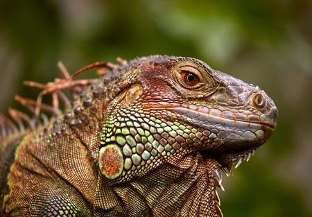 reptile: Green Iguana reptile