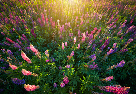 lupine: Lupine Flowers background.  Field of Lupines flowers in sunset lights Stock Photo