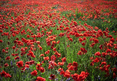 champ de fleurs: Poppy Field Flowers. DOF peu profond Banque d'images