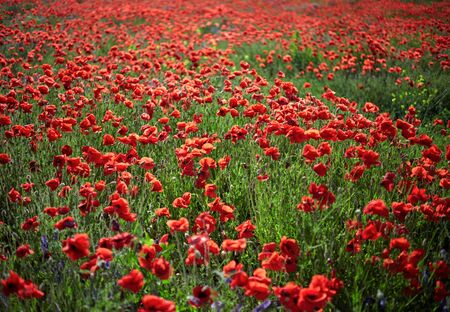 champs de fleurs: Poppy field flowers. Shallow DOF