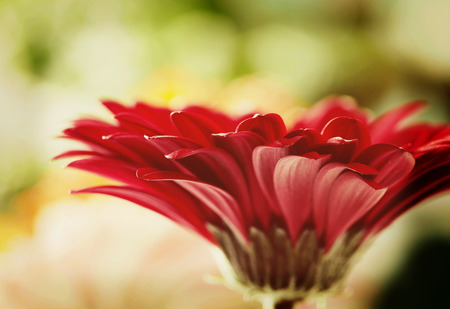 red flower: Red daisy gerbera flower with soft focus Stock Photo