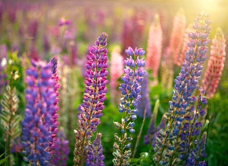 reloj de sol: Lupino Flores de fondo. Campo de flores Lupines en el atardecer luces Foto de archivo