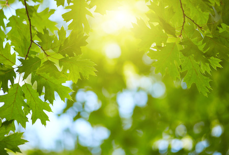 Frisches Grün lässt Hintergrund. Sonne scheint durch den Baum Standard-Bild - 66696634