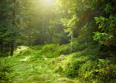 maleza: Paisaje con bosque de piceas soleado