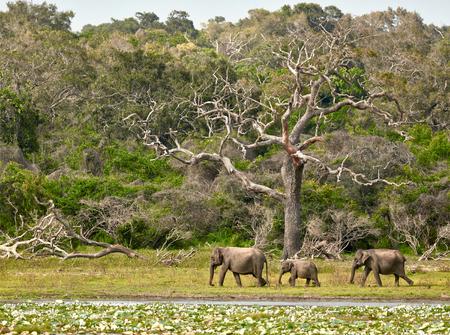 yala: Elephants family in Yala National Park. Sri Lanka