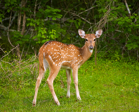 White-tailed deer fawn. Yala national park, Sri Lanka