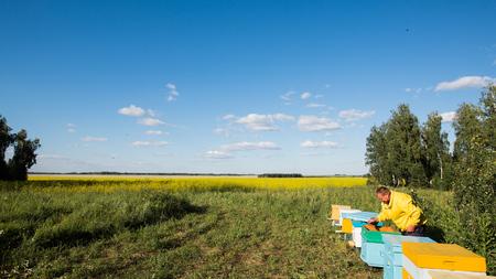 꽃이 만발한 옐로우 필드에 양봉가 및 비행 꿀벌