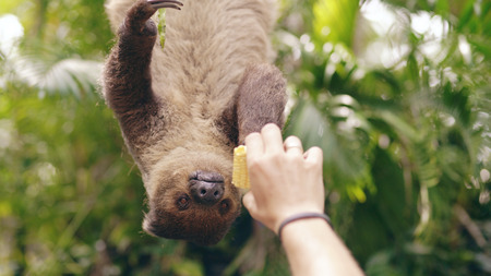 Human hand feeding sloth with corn in the zoo in national park in Thailand Banque d'images