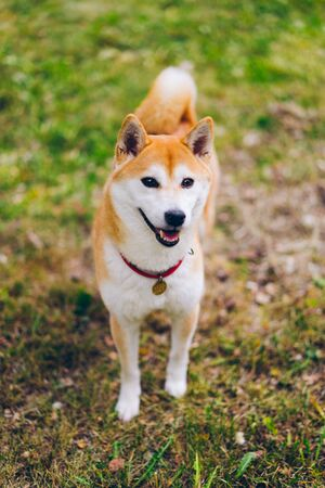 Portrait of cute shiba inu dog looking at camera standing on green grass in the park enjoying fresh air and freedom. Animals, pets and nature concept. Imagens