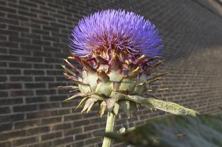 plantae: Globe Artichoke purple flowering thistle in bright sunlight