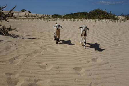 Baby Goats on a bright afternoon in April in the Natural park sands in Corralejo dunes,Fuerteventura,Las Palmas,Canary-Islands,Spain