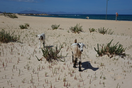 Baby Goats on a bright afternoon in April in the Natural park sands in Corralejo dunes,Fuerteventura,Las Palmas,Canary-Islands,Spain Фото со стока