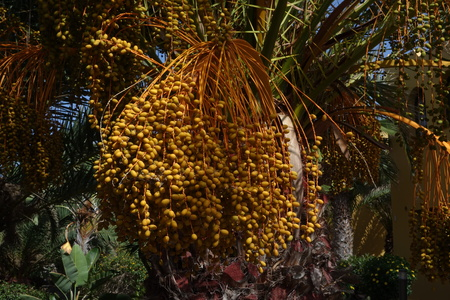 Date palm with a mass of yellow fruit in low light taken in Oasis Tamarindo Corralejo Fuerteventura in the Canary Islands Stock Photo
