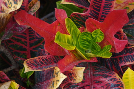 Beautiful croton plant with very bright colourful leaves flower in corralejo Fuerteventura Spain