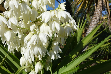 Yucca aloifolia in full bloom with beautiful white flowers taken in bright sunlight and found in Corralejo Fuerteventura in the Canary Islands Las Palmas Spain