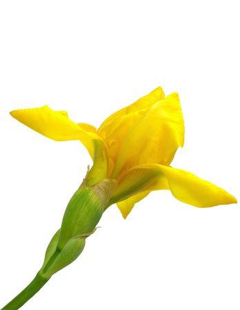 yellow iris flower isolated photo