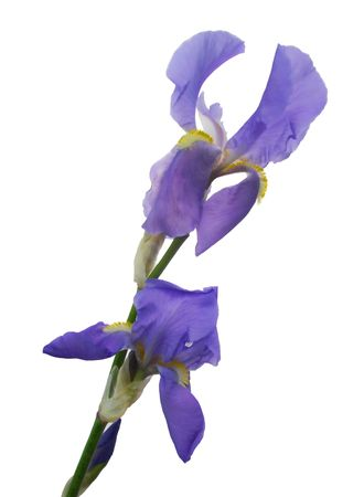 blue iris flower isolated Stock Photo - 4921241