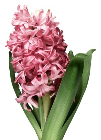 Close-up of pink hyacinth flower against white background photo