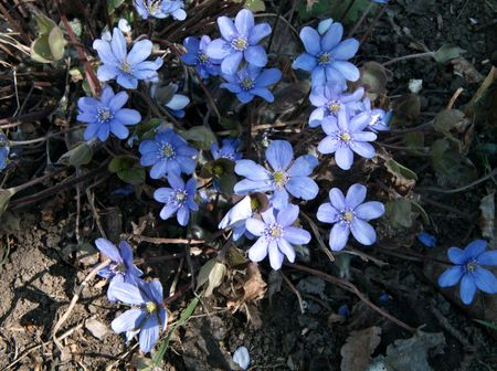 hepatica:  Anemone Hepatica in the early spring ( hepatica nobilis)