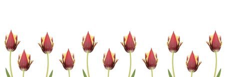 Line of  tulips for borders, frames etc  photo