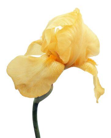 Iris isolated on white