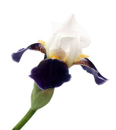 Irises isolated on white Фото со стока