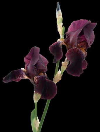 iris flower isolated Фото со стока