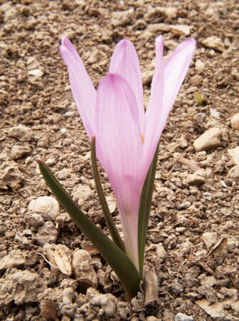 crocus photo